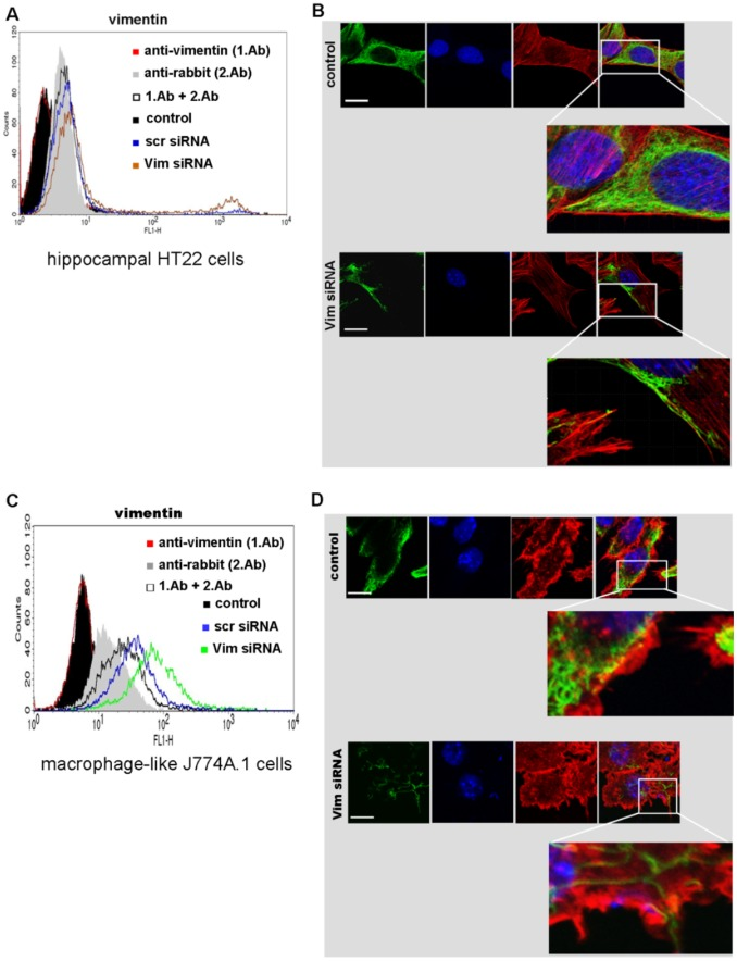 Analysis of <t>vimentin</t> distribution in analyzed cells. A) Vimentin was detected by anti-vimentin at the cell surface of HT22 cells transfected with siRNA for 48 h at 37°C by FACS analysis. B) Confocal microscopy of vimentin in HT22 cells transfected for 48 h at 37°C. The green (oregon green 488) anti-vimentin, DNA staining in blue (Dapi), rhodamine red-staining for actin and a merge image are shown for each panel. In the enlarged images the cell boundaries are shown. Significant difference between the vimentin distribution was detected for the transfected cells (lower panel) in comparison to the control (upper panel). Scale bar = 20 µM. C) Detection of vimentin at the cell surface of J774A.1 cells transfected with siRNA. D) Confocal microscopy of vimentin distribution in J774A.1 cells transfected for 48 h.