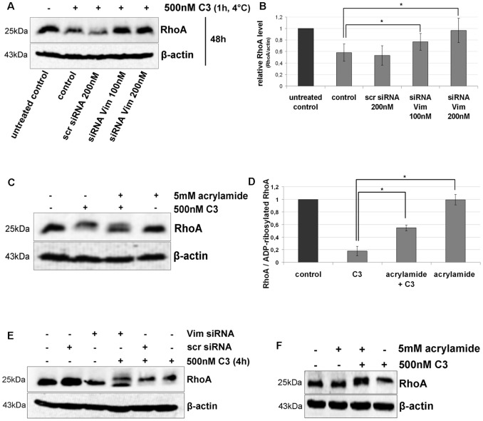 Uptake of C3 in HT22 and J744A.1 cells is dependent on vimentin distribution and integrity. A) Influence of Vim-siRNA knock down (for 48 h) on the uptake of C3 into HT22 cells detected as RhoA degradation (induced by C3-catalysed ADP-ribosylation). In a pulse-chase experiment, HT22 cells were incubated with C3 (500 nM) at 4°C for 60 min. Afterwards unbound C3 was removed by washing the cells three times with PBS and fresh medium was added. Cells were then cultivated for further 48 h. Cell lysates were generated and separated by SDS-PAGE followed by Western blot analysis probing RhoA and β-actin. One representative experiment is shown (n = 3 independent experiments). B) Cellular levels of RhoA proteins were quantified by densitometric evaluation of RhoA (from A) and adjusted to the corresponding actin band. C) HT22 cells were pre-treated with acrylamide (5 mM) for 30 min followed by incubation with C3 (500 nM) for 24 h. Cells were lysed and submitted to Western blot analysis probing RhoA and β-actin. C3 alone causes a complete mol weight shift of RhoA in SDS-PAGE. Western blot analysis of one representative experiment is shown (n = 3 independent experiments). D) RhoA shift (indicative of Rho-ADP-ribosylation) by quantified by densitometric evaluation of RhoA (from C) and adjusted to the corresponding β-actin signal. E) Influence of Vim-siRNA knock down (for 48 h) on the uptake of C3 into J774A.1 cells detected as incomplete RhoA ADP-ribosylation. J774A.1 macrophages were incubated with C3 (500 nM) at 37°C for 4 h. Cell lysates were generated and separated by SDS-PAGE followed by Western blot analysis probing RhoA and β-actin. One representative experiment is shown (n = 3 independent experiments). F) J774A.1 cells were pre-treated with acrylamide (5 mM) for 30 min followed by incubation with C3 (500 nM) for 4 h. Cells were lysed and submitted to Western blot analysis probing RhoA and β-actin.