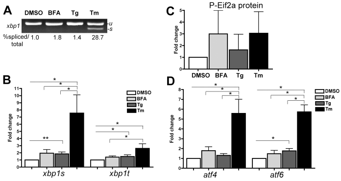 BFA, Tg and Tm differentially induce UPR sensors in the liver. (A,B) Standard PCR (A) and qPCR (B) analysis of xbp1 splicing in the livers of fish treated from 3 to 5 dpf with DMSO, 1 μg/ml BFA, 0.75 μM Tg or 1 μg/ml Tm using primers that amplify both unspliced (- u ) and spliced (- s ) xbp1 . The average ratio of xbp1-second to xbp1-t is indicated ( n =2). (C) Protein extracts from livers dissected from 5-dpf larvae treated as in A were blotted with anti- P-Eif2a and anti- tubulin as a loading control. Quantification and normalization to tubulin and DMSO controls is shown ( n =2). (D) Analysis of atf4 and atf6 expression in livers of fish treated as in A. In B and D, target gene expression was normalized to rpp0 and fold changes compared to DMSO are plotted; n =13 for DMSO, 10 for Tm, 8 for Tg and 6 for BFA. Bars represent standard error in all graphs. * P