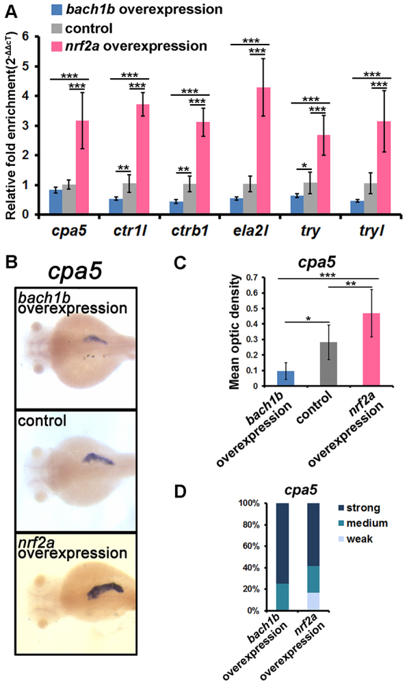 Overexpression experiments with bach1b and nrf2a reveal their antagonism in the regulation of zymogen expression. (A) qRT-PCR analysis showed that bach1b overexpression resulted in the downregulation of six peptidase precursor genes – cpa5 , ctr1l , ctrb1 , ela2l , try and tryl – whereas nrf2a overexpression resulted in their upregulation. Overexpression experiments were performed by microinjecting bach1b or nrf2a capped mRNAs into one-cell stage embryos. The expression levels of the six peptidase precursor genes in the microinjected and control larvae at 84 hpf were determined by qRT-PCR analysis. (B) Representative images of in situ hybridization staining show that downregulation of cpa5 resulted from bach1b overexpression and that its upregulation resulted from nrf2a overexpression, both specifically in the exocrine pancreas. Dorsal view, anterior to the left. (C) Mean optic densities of in situ hybridization staining of a group of larvae (10–12 each) corresponding to Fig. 3B were quantified by using ImageJ. (D) cpa5 morphant phenotypes. For individual larvae (84 hpf) of the bach1b overexpression group, the optic density values lower than the mean optic density value of its own group were marked as 'strong', and the optic density values higher than the mean optic density of the control group were marked as 'weak'. For individual larvae of the nrf2a overexpression group, the optic density values higher than the mean optic density value of its own group were marked as 'strong', the optic density values lower than the mean optic density of the control group were marked as 'weak', and the values of optic density between 'weak' and 'strong' marked as 'medium'. The statistical significance of difference between means was determined by one-way ANOVA and Tukey's multiple comparison test ( n =9) by using SPSS10.0.1. * P