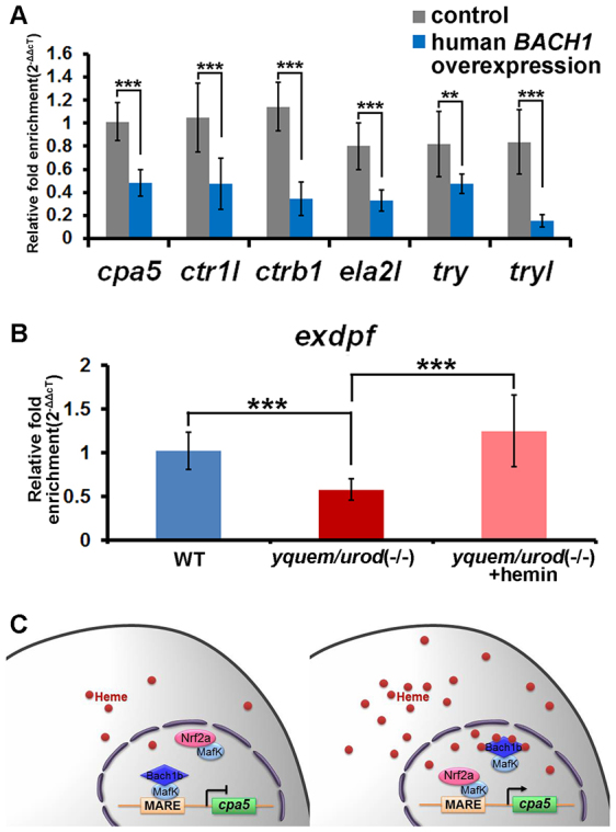 The regulatory functions of BACH1 on exocrine zymogens are conserved, developmental delay of the exocrine pancreas in the HEP fish and a model for heme-mediated regulation of the exocrine peptidase precursor gene. (A) Overexpression of human BACH1 in zebrafish resulted in downregulation of the six peptidase precursor genes investigated. (B) Downregulation of exdpf ( Jiang et al., 2008 ), an exocrine pancreas marker, in zebrafish yquem/urod (−/−), as determined by qRT-PCR analysis, the results of which are consistent with those achieved by using in situ hybridization (shown in supplementary material Fig. S7A,B ). The primers used for the qRT-PCR analysis are listed in supplementary material Table S1 . Student's t -tests were conducted. ** P
