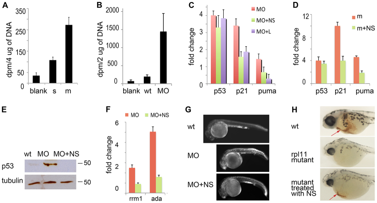 Rescue of RP-deficient zebrafish with exogenous nucleosides. (A) At 48 hpf, Rpl11 mutants incorporated more [ 3 H] deoxycytidine into DNA than their wild-type siblings ( P