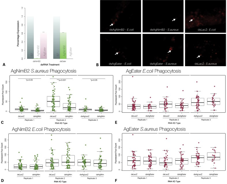 Characterization of the ability of AgNimB2 and AgEater to mediate bacterial phagocytosis. (A) RNA interference (RNAi) gene knockdown (KD) efficiency compared to S7 reference from 20 of each dsRNA injected mosquitoes assayed by quantitative real-time PCR (qRT-PCR). dsAgNim KD efficiency, 99.2±0.02%; dsEater KD efficiency, 99.8±0%. qRT-PCR data analyzed using standard curve method. Error bars represent standard error of the mean for two replicates. (B) Fluorescent images from pHrodo bioparticle injected mosquito abdomens, example of phagocytosis foci are indicated by arrows. (C) pHrodo phagocytosis foci counts from AgNimB2 KD mosquitoes challenged with Staphylococcus aureus pHrodo bioparticles, (D) pHrodo phagocytosis foci counts from AgNimB2 KD mosquitoes challenged with Escherichia coli pHrodo bioparticles, (E) pHrodo phagocytosis foci counts from AgEater KD mosquitoes challenged with E. coli pHrodo bioparticles, (F) pHrodo phagocytosis foci counts from AgEater KD mosquitoes challenged with S. aureus pHrodo bioparticles. Each dot represents one mosquito, with three replicates shown for each gene KD. Bar plot indicates median (bold line), inter quartile range (IQR), and 1.5×IQR (dotted line). Medians were compared using a Wilcoxon rank sum test with continuity correction.