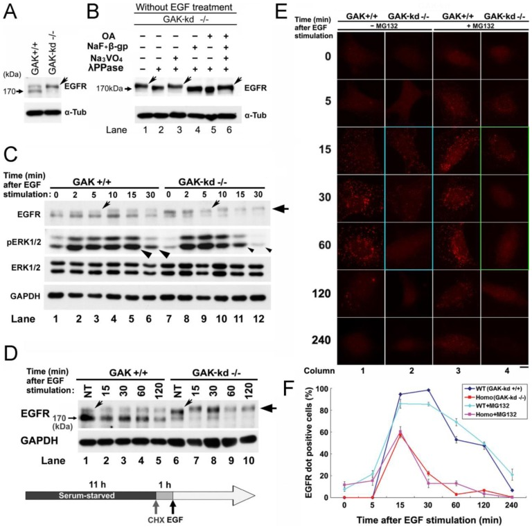 Loss of GAK activity leads to constitutive hyper-phosphorylation of the EGFR. A, western blot analysis of EGFR expression in WT (GAK-kd +/+ ) and mutant (GAK-kd −/− ) MEFs. B, the effects of a Tyr-phosphatase inhibitor (50 mM Na 3 VO 4 ) and Ser/Thr phosphatase inhibitors (50 mM NaF and 50 mM β-glycerophosphate, or 2.5 µM okadaic acid) on the inhibition of EGFR phosphorylation by λ-phosphatase (λPPase; 200 U). A, B, the arrows indicate the phosphorylated EGFR protein. Alpha-tubulin (α-Tub) was used as a loading control. (C, D) Western blot analysis of expression levels of the EGFR and ERK1/2 in WT (+/+) and GAK-kd (−/−) MEFs following EGF stimulation for the indicated times. Cycloheximide (50 µg/ml) was added to the culture medium 1 h prior to EGF (10 µg/ml) to inhibit novel protein synthesis. The tilted and horizontal arrows indicate the phosphorylated and hyper-phosphorylated EGFR bands, respectively. GAPDH was used as a loading control. C, the arrowheads indicate differential expression of phosphorylated ERK1/2 in WT and GAK-kd MEFs. D, NT, non-treated. E, immunostaining of the EGFR protein in WT (+/+) and mutant (−/−) MEFs treated with or without the proteasome inhibitor MG132 (50 µg/ml). Notable panels are encircled by turquoise and green lines. F, the numbers of EGFR-positive cells in WT and GAK-kd (Homo) cells in the presence or absence of MG132. The data are represented as the mean ± SEM of n = 3 independent experiments at each time point.