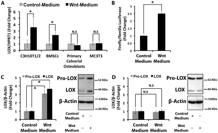 Wnt3a transcriptionally up-regulates lysyl oxidase mRNA levels in C3H10T1/2 pluripotent progenitor cells. Serum-depleted cells were treated with Wnt3a- or control-conditioned medium for 24 hours. Total RNA and protein were extracted and subjected to real time PCR and Western blotting analyses. A) The bar graph presents lysyl oxidase mRNA levels in response to Wnt3a in C3H10T1/2 cells (n = 6), mouse primary bone marrow stromal cells (BMSCs, n = 3), rat primary calvarial osteoblasts (n = 9), and a mouse pre-osteoblast cells (MC3T3-E1, n = 3). Data presented for C3H10T1/2 cells, BMSCs and primary calvarial osteoblasts were pooled from two independent experiments; data from MC3T3-E1 cells were from one experiment performed in triplicate. Data shown are means ± SD (*, p