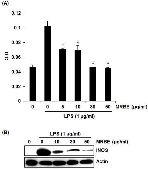Effect of MRBE on NO production (A) and iNOS (B) in LPS-stimulated RAW264.7 cells. RAW264.7 cells were pre-treated with MRBE at the indicated concentrations for 2 h and then co-treated with LPS (1 μg/ml) for the additional 18 h. After treatment, NO production was measured using the media and Griess reagent and cell lysates were resolved by SDS-PAGE, transferred to PVDF membrane, and probed with iNOS antibody for Western blot. iNOS protein was visualized using ECL detection. Actin was used as internal control. DMSO was used as a vehicle. Values given are the mean ± SD (n = 3). *p