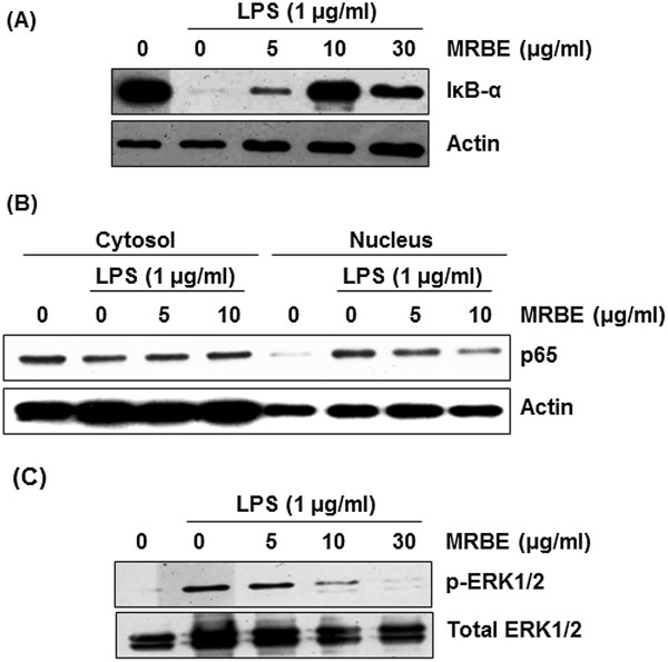 Effect of MRBE on IκB-α degradation (A), p65 nuclear translocation (B) and ERK1/2 phosphorylation (C) in LPS-stimulated RAW264.7 cells. RAW264.7 cells were pre-treated with MRBE at the indicated concentrations for 2 h and then co-treated with (1 μg/ml) for 15 min (for Western blot of IκB-α and ERK1/2 phosphorylation) or 30 min (for Western blot of p65). DMSO was used as a vehicle. Cell lysate were resolved by SDS-PAGE, transferred to PVDF membrane, and probed with antibodies against IκB-α, p-ERK1/2, total ERK1/2 and p65. The proteins were then visualized using ECL detection. Actin was used as an internal control.