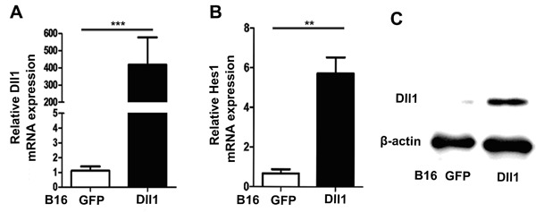 Overexpression of Dll1 activated Notch signaling in B16 cells. A , Quantitative PCR revealed expression of Dll1 mRNA in transfected cells. B , Expression of Notch down-stream gene Hes1 was observed in transfected B16 tumor cells. C , Dll1 protein was detected by Western blot in B16 tumor cells. Data are reported as means±SD. **P