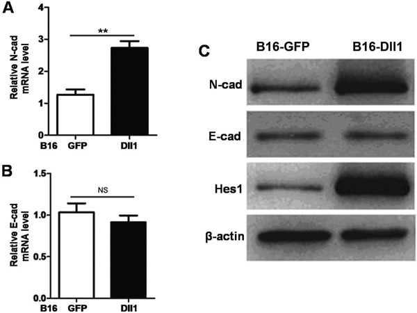 Dll1-mediated Notch activation induced N-cadherin (cad) expression. The expressions of N-cadherin ( A ) and E-cadherin ( B ) were assessed by real-time RT-PCR, with β-actin as a reference control. C , The protein levels of Hes1, N-cadherin, E-cadherin in tumor cells were examined with Western blot. Data are reported as means±SD. **P