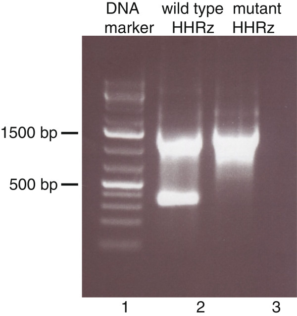 Agarose gel showing self-cleavage of the HHRz in the context of MS2 RNA sequences. Lane 1, DNA marker consisting of 75, 200, 300, 400, 500, 750, 1000, 1500, etc. base-pair fragments. Lane 2 and 3, products of T7 RNA polymerase directed transcription of templates containing the active and inactive (G5A mutant) HHRz, respectively.