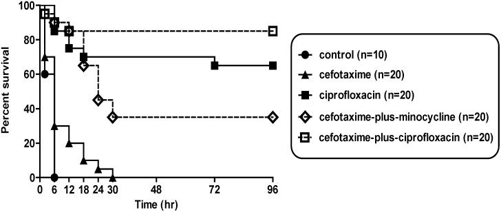 Survival rates of mice in each treatment group inoculated with 1×10 8 cfu V. vulnificus . The 96-h survival rate of the cefotaxime-plus-ciprofloxacin group (85%, 17/20) was significantly higher than that of the cefotaxime (0%, 0/20) or the cefotaxime-plus-minocycline groups (35%, 7/20) ( P