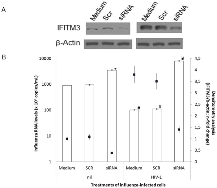 The HIV-1 inhibitory effect on A(H1N1)pdm09 replication is dependent on the IFITM3 expression. HeLa cells were transfected with 0.4(Scr) using <t>lipofectamine</t> 2000 and, after 6 h, cells were infected by A(H1N1)pdm09 (MOI 5) for 1 h. After that, cells were exposed to HIV-1 (10 ng/mL p24 Ag) for 24 h after influenza infection. ( A ) Monolayers were lysed with Laemmli buffer and submitted to blotting assay for the proteins IFITM3 and β-actin, as an housekeeping. Top panel: cells not exposed to HIV-1, and bottom panel: cells exposed to HIV-1. ( B ) The A(H1N1)pdm09 levels in culture supernatants were quantified by qRT-PCR (y-axis) and the immunoblotting bands were analyzed by densitometry using the ImageJ software 1.6.0 and n-fold changes of AU is scored as black squares (z-axis). Panel A is representative of three independent experiments. * P