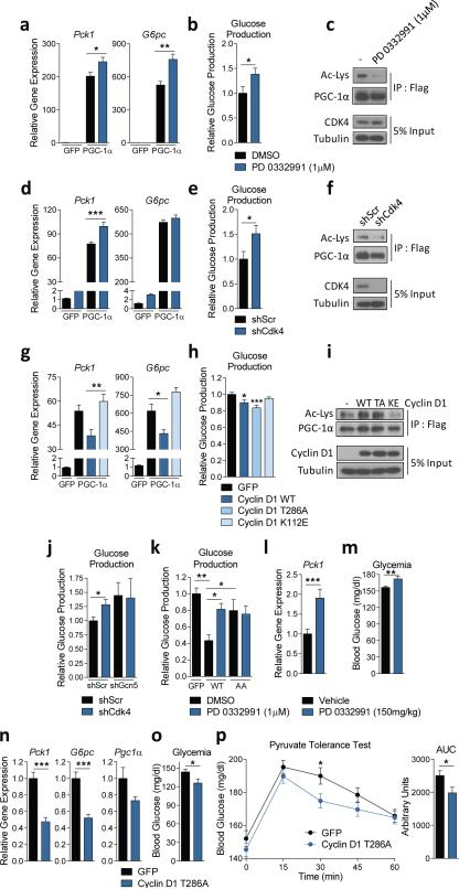 Cyclin D1-CDK4 regulates gluconeogenesis in primary hepatocytes and whole animals. a-b ) PD 0332991 increases gluconeogenic gene expression and glucose production ( a : one-way ANOVA with Tukey post test, n=3, b : two-tailed unpaired t-test, n=8). c) PGC-1α acetylation is decreased by PD 0332991 treatment. d-e) CDK4 knockdown increases gluconeogenic gene expression and glucose production ( d : oneway ANOVA with Tukey post test, n=6, e : two-tailed unpaired t-test, n=6). f) PGC-1α acetylation is decreased upon CDK4 deletion. g-h) Cyclin D1 wild-type decreases gluconeogenic gene expression, and cyclin D1 wild-type and cyclin D1 T286A, but not cyclin D1 K112E, repress glucose production ( g : one-way ANOVA with Tukey post test, n=3/GFP, PGC-1α, n=6/Cyclin D1 WT and KE, h : one-way ANOVA with Dunnett post test, n=8). i) Overexpression of cyclin D1 wild-type (WT) and T286A (TA), but not cyclin D1 K112E (KE), induces PGC-1α acetylation. j) GCN5 knockdown blunts the increase of glucose production by CDK4 knockdown (two-tailed unpaired t-test, n=8). k) PD 0332991 increases glucose production with GCN5 wild-type (WT), but not with GCN5 T272A/S372A (AA) (one-way ANOVA with Newman-Keuls post test, n=8). l-m) PD 0332991 administration increases Pck1 gene expression and glycemia in mice (two-tailed unpaired t-test, n=18/vehicle, n=17/PD 0332991). n-o) Gluconeogenic gene expression and glycemia are reduced by cyclin D1 T286A overexpression in liver (two-tailed unpaired t-test, n=10/GFP, n=9/D1 T286A). p ) Cyclin D1 T286A overexpression in liver decreases hepatic glucose production capacity assessed by pyruvate tolerance test (two-tailed unpaired t-test, n=20/GFP, n=24/D1 T286A AUC=area under curve). Statistical significance is represented by asterisk corresponding to * P
