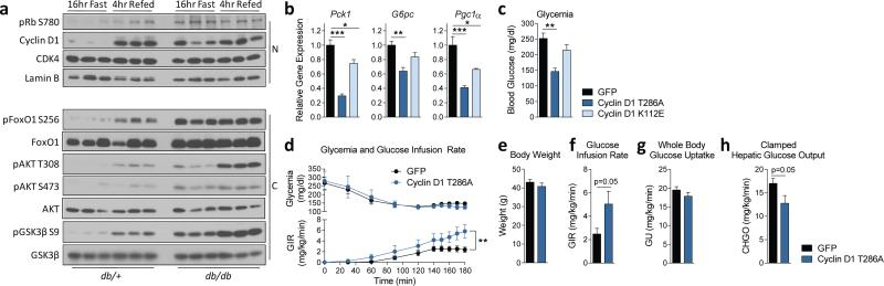 In diabetic hyperinsulinemic mice, cyclin D1-CDK4 is dysregulated and hyperactivation of cyclin D1-CDK4 attenuates the diabetic phenotype. a) Cyclin D1 is chronically elevated in livers of db/db mice (N=nuclear and C=cytoplasmic liver extracts). b-c) Cyclin D1 T286A, but not cyclin D1 K112E, overexpression in liver represses gluconeogenic genes and glycemia in db/db mice (one-way ANOVA, Tukey post test, n=6/GFP, D1 K112E, n=5/D1 T286A). d-h) In db/db mice, cyclin D1 T286A overexpression in liver suppresses hepatic glucose production tested by hyperinsulinemic-euglycemic clamp. d) Plasma glycemia and glucose infusion rate (twoway ANOVA, significant interaction, n=7). e) Body weights. f) Clamped glucose infusion rate. g) Whole-body glucose uptake. h) Hepatic glucose output (average of last 40min values for f-g , two-tailed unpaired t-test for d-h , n=7). Statistical significance is represented by asterisk corresponding to * P