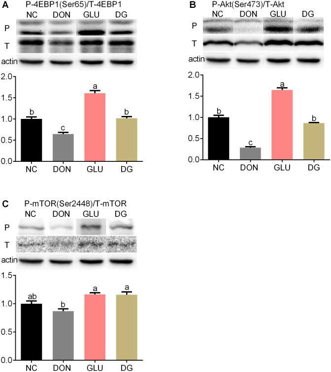 Activation of mTOR in jejunum. (Up) Representative western blots of total 4EBP1(T-4EBP1), phosphorylated 4EBP1 (Ser65) (P-4EBP1), total Akt (T-Akt), phosphorylated Akt (Ser473) (P-Akt), total mTOR (T- mTOR), phosphorylated mTOR (Ser2448) (P- mTOR) in jejunum of piglets fed the various dietary treatments. β-actin was the loading control. (Down) Quantification by image analysis of 4EBP1, Akt and mTOR phosphorylation. Dietary treatments were NC, an uncontaminated basal diet, DON, the basal contaminated with 4 mg/kg deoxynivalenol, GLU, uncontaminated basal diet with 2% (g/g) glutamic acid supplementation, and DG, deoxynivalenol-contaminated (4 mg/kg) basal diet with 2% (g/g) glutamic acid supplementation. n = 7 for treatments.
