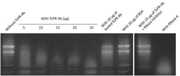 Ribonuclease activity of the recombinant <t>TcPR-4b</t> on tomato ( Solanum lycopersicum var. Micro-Tom) total RNA (5 μg). The incubation with TcPR-4b was carried out for 30 min at 25°C. The boiling conditions were 10 min at 95°C. The <t>RNase</t> inhibitor was the RiboLock (40 U; Thermo Scientific). The incubation conditions of the RNase A (Thermo Scientific) were 10 min at 25°C.