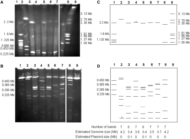 Estimation of Xenorhabdus poinarii strains genome size by PFGE of I- Ceu I-hydrolyzed genomic DNA. The separation of I- Ceu I fragments was optimized by using different electrophoresis conditions for fragments of different sizes: ( A ) a pulse ramp from 150 to 400 s for 45 h for I- Ceu I fragments between 500 and 4,000 kb in size; ( B ) a pulse ramp from 5 to 35 s for 24 h for fragments of less than 500 kb in size. Schematic representations of the I- Ceu I PFGE patterns under two sets of migration conditions, making it possible to separate fragments from 500 to 4,000 kb in size ( C ) and fragments from 10 to 500 kb in size ( D ), were also shown. Lane 1: Saccharomyces cerevisiae (strain 972h); lane 2: X. bovienii SS-2004; lane 3: X. poinarii AZ26; lane 4: X. poinarii G6; lane 5: X. poinarii SK72; lane 6: X. poinarii CU01; lane 7: X. poinarii NC33; lane 8: X. doucetiae FRM16; lane 9: Hansenula wingei (strain YB-4662-VIA). Dashed bands around 120 kb in strains Xp_AZ26 (lane 3) and Xp_SK72 (lane 4) correspond to fragments with a lower staining intensity, probably plasmids. *Although these bands are difficult to see on the gel photography, there were directly distinguishable on the gel and their sizes were confirmed by the theorical I- Ceu I pattern of the genome sequences of X. bovienii SS-2004 and X. poinarii G6. Fragment and genome sizes of the four unsequenced X. poinarii strains were evaluated with the X. poinarii G6 , X. bovienii SS-2004, and X. doucetiae FRM16 genomes used as a reference (lanes 2, 4, and 8) and molecular weight ladders (lanes 1 and 9).