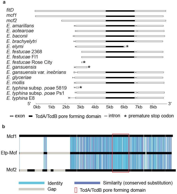 Gene structure of the Epichloë mcf-like genes and amino acid similarity of E. typhina s ubsp. poae Ps1-Mcf protein with the bacterial Mcf proteins. (a) Diagrams of gene structure of the bacterial mcf1 , mcf2 , fitD , and Epichloë mcf-like genes. The exons are indicated by boxes and the introns by lines. The conserved TcdA/TcdB pore-forming region is indicated by filled in boxes. The positions of the premature stop codons in some of the Epichloë genes are indicated by *. The end of intron 1 of the E. typhina s ubsp. poae 5819 sequence was modified from the annotated version to that of the experimentally determined position in E. typhina s ubsp. poae Ps1. (b) GECA analysis illustrating the amino acid sequence similarity of the E. typhina s ubsp. poae Ps1-Mcf protein (1,997 amino acids; accession KJ502561) to Mcf1 (2,929 amino acids; accession AF503504.2) and Mcf2 (2,388 amino acids; accession AY445665) proteins from Ph. luminescens.