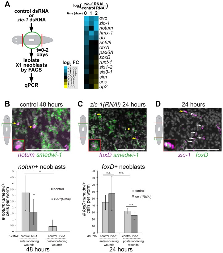 zic-1 controls utilization of foxD+smedwi-1+ progenitors for notum expression and anterior pole formation. (A) Measurement of expression changes in X1 neoblasts due to treatment with zic-1 versus control dsRNA. Trunk fragments were macerated 5 minutes (0 days), 24 hours (1 day) and 48 hours (2 days) after head and tail amputation, and X1 cells were isolated from 3 independent biological replicates of 10 worms each. qPCR examined putative expression changes in a cohort of 15 transcription factors and signaling molecules that mark neoblast subpopulations induced by regeneration. Cartoon depicts experimental design. Heat map shows log 2 fold-changes in gene expression for the indicated genes in zic-1(RNAi) X1 neoblasts versus controls averaged from three biological replicates for each condition. Blue color indicates downregulation and yellow indicates upregulation, due to zic-1 RNAi. (B–D) Double FISH to detect expression of zic-1 , foxD , smedwi-1 and/or notum with nuclei counterstained with Hoechst (gray). (B) In situ hybridization probing to detect notum (magenta) and smedwi-1 (green) to detect notum+smedwi-1+ cells. (B, top) Representative image of notum+smedwi-1 + cells, (B, bottom) quantification of notum+smedwi-1+ cells. zic-1(RNAi) reduced numbers of notum+ neoblasts by 48 hours and smedwi-1+ cells were more numerous in anterior than posterior. (C) foxD (magenta) expression in smedwi-1+ (green) neoblasts 24 hours after injury was not eliminated due to zic-1 RNAi. Bottom, quantification of foxD+smedwi-1+ cells from control and zic-1(RNAi) animals fixed 24 hours after head and tail amputation and probed by double FISH. foxD+smedwi-1+ cells were produced in equal numbers at anterior- versus posterior-facing wound sites and were not reduced by zic-1 inhibition (control animals, 29±1 foxD+smedwi-1+ cells in anterior- versus 32±4 in posterior-facing wounds; zic-1 RNAi animals, 19±5 foxD+smedwi-1+ cells in anterior- versus 26±6 in posterior-facing wounds, n = 3 worms each). (D) foxD (green) is expressed in a subpopulation of zic-1+ cells (magenta, 3.4±1.8% of 420 zic-1 + cells were foxD +, n = 5 worms) by 24 hours. Yellow arrow indicates double positive cell (also inset), and white arrows indicate zic-1+ cells. Cartoons show surgeries and zoomed areas. Error bars standard deviations, asterisks p-value