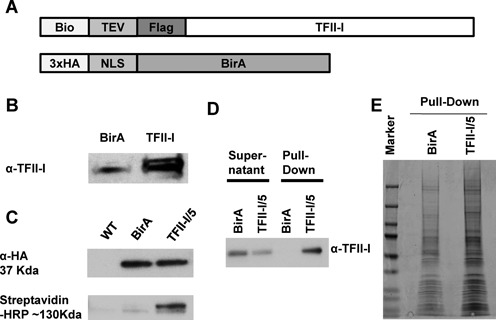 Identification of TFII-I interacting proteins in K562 cells by streptavidin-mediated pull-down and mass spectrometry analysis. (A) Structure of bio-tagged TFII-I and HA-tagged BirA. A cDNA construct was generated expressing TFII-I with an N-terminal tag consisting of the biotinylatable peptide (Bio), a TEV cleavage site and a Flag-peptide, as well as the E. coli BirA protein biotin ligase containing an N-terminal HA tag (3xHA) and a nuclear localization signal (NLS). (B) Nuclear extracts from K562 cells expressing BirA (BirA) or BirA together with the bio-tagged TFII-I were fractionated by SDS-PAGE and analyzed by western blotting with antibodies specific for TFII-I (α-TFII-I). (C) Nuclear extracts from K562 cells (WT), K562 cells expressing BirA or single cell clone 5 expressing bio-tagged TFII-I and BirA (TFII-I/5), were fractionated by SDS-PAGE, transferred to a PVDF membrane and examined using an HA-specific antibody (α-HA, top) or streptavidin conjugated horse radish peroxidase (Streptavidin-HRP, bottom). (D) Single K562 cell clone 5 expressing bio-tagged TFII-I and BirA (TFII-I/5), or cells expressing only BirA were subjected to pull-down using streptavidin-coated magnetic beads. The supernatant and pull-down material was subjected to western blotting using antibodies specific for TFII-I (α-TFII-I) (E) Representative image of coomassie-blue stained SDS-PAGE gels loaded with streptavidin pulled-down material from K562 cells expressing only BirA (BirA) or BirA together with bio-tagged TFII-I, in this case representing clone 5.