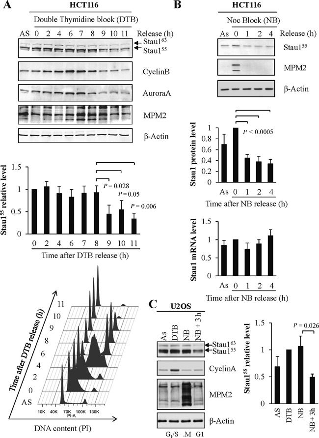 Stau1 protein levels vary during the cell cycle. ( A ) HCT116 cells were grown asynchronously (AS) or were synchronized at the G 1 /S transition by a double thymidine block (DTB) and then released by addition of fresh medium. Cell extracts were prepared at different time points post-release as indicated and analyzed by western blotting (top and middle panels). CyclinB, marker of S, G 2 and M phases; AuroraA, marker of G 2 and M phases; MPM2, mitosis protein monoclonal 2 detects a variety of phosphorylated proteins during mitosis. DNA content was assessed by flow cytometry analysis at the indicated time points after release from thymidine block (bottom panel). ( B ) HCT116 cells blocked in prometaphase with nocodazole (NB) were collected by shake-off and replated in fresh medium. Cell extracts were prepared at different time points and analyzed by western blotting. (Bottom) RNA was isolated from the cell extracts used for western blot analysis and the levels of mRNA were quantified by RT-qPCR. The ratios between Stau1 and GAPDH mRNA levels were calculated at each time point and the means were plotted relative to that obtained at time 0, which was arbitrarily set to 1. ( C ) U2OS cells were grown asynchronously (As) or were synchronized at the G 1 /S transition (DTB), in prometaphase (NB) or in G 1 by a nocodazole block followed by a release of 3 h in fresh medium (NB + 3 h). Stau1 levels were monitored by western blotting. Cyclin A, marker of the G 1 /S transition. Western blot results (A, B and C) are representatives of three independently performed experiments that showed similar profiles. Statistical analyses: Quantification of the relative amounts of Stau1 protein and/or mRNA at each time point, expressed as the mean of three independent experiments. Standard deviations are shown and statistical analyses (Student's t -test) are indicated when significant. For protein analysis, the ratios between Stau1 and β-Actin levels were calculated at each time point and the 