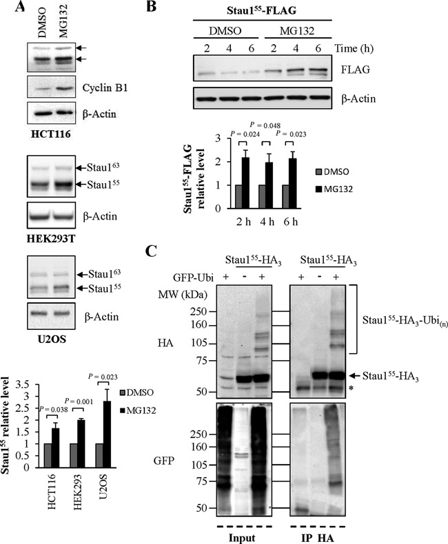 Stau1 is a substrate of the ubiquitin proteasome system. Untransfected HCT116, HEK293T and U2OS cells (A) and Stau1 55 -FLAG-transfected HEK293T cells (B) were treated for 6 h with the proteasome inhibitor MG132 (10 μM) or by DMSO (the MG132 vehicle) as control. Cell extracts were analyzed by western blotting. The ratios between Stau1 and β-Actin levels and the statistical analyses were calculated as described in the legend of Figure 1 , the ratio observed in cells treated with Dimethylsulfoxide (DMSO) being arbitrarily set to 1. (C) HEK293T cells were transfected with plasmids coding for Stau1 55 -HA 3 and/or GFP-Ubiquitin. Left: input. Right: Stau1 55 -HA 3 was immunoprecipitated with a mouse monoclonal anti-HA antibody (12CA5) and co-immunoprecipitated proteins were analyzed by western blotting. *, unspecific signal. Each panel is representative of three independently performed experiments that generated similar results.