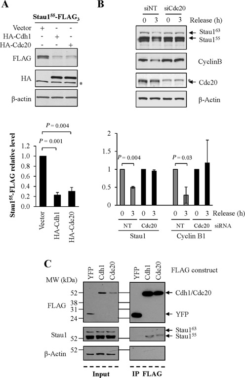 Stau1 down-regulation in mitosis is dependent on the APC/C. (A) HEK293T cells were co-transfected with plasmids coding for Stau1 55 -FLAG 3 and HA-Cdc20, HA-Cdh1 or the empty vector as control. Cells extracts were analyzed by western blotting. *, unspecific signal. (B) HCT116 cells were transfected with siRNAs control or targeting the Cdc20 mRNA. Cells were synchronized in late G2 with RO-3306 (0) and released from the block for 3 h ( 3 ). Cell extracts were analyzed by western blotting. In A and B, the ratios between Stau1 55 -FLAG and β-Actin levels and the statistical analyses were calculated as in the legend of Figure 1 , the ratio observed in cells transfected with the empty vector being arbitrarily set to 1. (C) HEK293T cells were transfected with plasmids coding for FLAG-Cdh1, FLAG-Cdc20 or FLAG-YFP as indicated. Left: input. Right: FLAG-tagged proteins were immunoprecipitated with anti-FLAG antibody and co-purified endogenous Stau1 was detected with anti-Stau1 antibody by western blotting. Each panel (A, B and C) is representative of three independently performed experiments.
