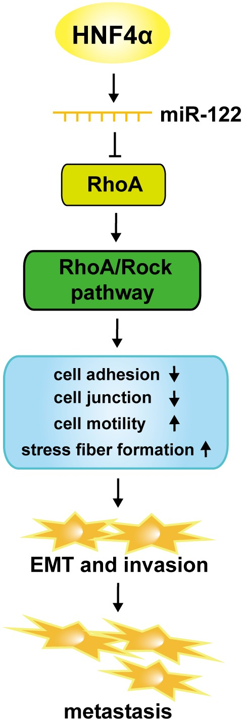A proposed model for the HNF4α/miR-122/RhoA axis in regulating EMT, and the invasion and metastasis of HCC cells.