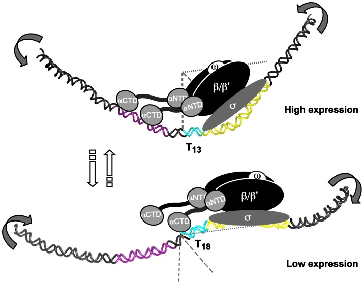T- or A-tracts, adjacent to −35 elements, regulate gene expression by a rheostat-like mechanism. Schematic overview of the T-tract rheostat using the sabA promoter as a model. The predicted interaction of the <t>RNA</t> polymerase with sabA promoter, harboring different T-tract lengths and thereby different local <t>DNA</t> structure, is depicted in the model. The illustration shows the high-expressing T 13 -variant and the low-expressing T 18 -variant. The region containing the A-boxes, i.e. the proximal UP-like element, is marked in purple (−90 to −50), T-tract in blue, and the core promoter (−35 to +20) in yellow. Bent arrows indicate the change in local DNA structure that occurs in two orientations as the T-tract length is altered. This is a variable process as the T-tract length can both be lengthened and shortened, as a result of slipped strand mispairing during replication.