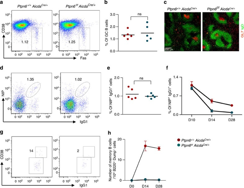 Analyses of GC and memory B-cell formation in Ptpn6 f/f Aicda Cre/+ mice. Ptpn6 +/+ Aicda Cre/+ and Ptpn6 f/f Aicda Cre/+ mice were analysed 10 days onwards after challenge with NP 38 -CGG. ( a ) Flow cytometry analysis of CD19 + cells in the spleens of immunized mice stained for the presence of Fas + CD38 − GC B cells. Numbers indicate per cent of CD19 + cells. ( b ) Graphical depiction of the frequencies of GC B cells in the spleens of Ptpn6 +/+ Aicda Cre/+ and Ptpn6 f/f Aicda Cre/+ mice. Each data point represents one mouse analysed and five mice per group were examined; ns=non-significant. ( c ) Histology staining of splenic GC with anti-IgD (green) and anti-GL7 (red) antibodies. White bar, 200 μm. ( d ) B220 + Dump − cells in the spleens of immunized mice were analysed for the presence of antigen-specific NIP-binding IgG1 B cells. Numbers indicate per cent of IgG1 B cells in B220 + Dump − gate that bind antigen. ( e ) Graphical representation of the frequencies of antigen-specific IgG1 cells in immunized spleens. ( f ) Graphical representation of the frequency of antigen-specific IgG1 cells at day 10, 14 and 28 post immunizations. Cells were gated as in ( d ). Group of five mice were used, and data are expressed as mean±s.e.m. ( g ) Flow cytometry analysis of NIP-binding IgG1 cells at day 14 of immunization to further delineate CD38 − GC and CD38 + memory B cells. Numbers indicate actual number of cells in the gated areas out of 10 4 B220 + Dump − spleen cells analysed. ( h ) Quantification of CD38 + IgG1 + NP-specific memory B cells (expressed as number of memory B cells per 10 4 B220 + Dump − cells) in Ptpn6 +/+ Aicda Cre/+ and Ptpn6 f/f Aicda Cre/+ mice at 0, 14 and 28 days post immunizations. Group of five mice were used, and data are expressed as mean±s.e.m.