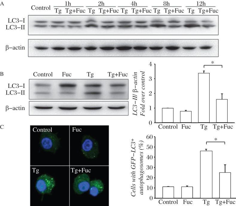 Fucoidan inhibits thapsigargin (Tg)-induced autophagy. A: RAW264.7 cells were left untreated or incubated with 0.5 μmol/L Tg or 0.5 μmol/L Tg plus 25 μg/mL fucoidan for 1, 2, 4, 8 or 12 hours. Cell lysates were subjected to Western blotting and detected by antibodies against LC3 and β-actin. B RAW264.7 cells were incubated for 12 hours with the indicated reagents, alone or in combination with 25 μg/mL fucoidan and 0.5 μmol/L Tg. Cell lysates were applied to Western blotting and detected by antibodies against LC3 and β-actin (left). The ratio of LC3-II to β-actin density was calculated using the ImageJ software and set to 1 for control (right). Non-treated cells were as control. Results were expressed as mean ± S.D. of triplicate samples. *P
