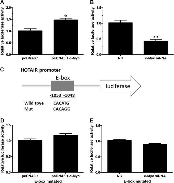 c-Myc regulates HOTAIR promoter activity, depending on E-box element. (A) Dual luciferase assay on GBC-SD cells cotransfected with firefly luciferase constructs containing the HOTAIR promoter and pcDNA3.1 or pcDNA3.1-c-Myc. (B) Dual luciferase assay on GBC-SD cells cotransfected with firefly luciferase constructs containing the HOTAIR promoter and c-Myc siRNA or the control siRNA. (C) schematic of the HOTAIR-promoter-luciferase construct is depicted with locations of the E-box element and sequences of point mutation. (D, E) Dual luciferase assay on GBC-SD cells cotransfected with firefly luciferase constructs (mutant at E-box element) and pcDNA3.1-c-Myc (D) or c-Myc siRNA (E) . All of the transfection was performed in triplicates. The values are presented as the mean ± S.E.M. of the ratio of firefly luciferase activity to renilla luciferase activity and are representative of at least three independent experiments. Data are shown as the mean ± S.E.M, based on at least three independent experiments. * p