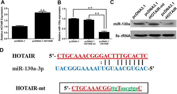 Identification of miR-130a as a target of HOTAIR. (A) pcDNA3.1-HOTAIR upregulated the HOTAIR mRNA level. (B, C) Downregulation of miR-130a by ectopic expression of HOTAIR detected by RT-PCR (B) and northern blot (C) . GBC-SD cells were transfected with vector control or HOTAIR or mutant HOTAIR, and total RNA was isolated 48 h after transfection. (D) The mutant HOTAIR at putative binding site. Error bars represent S.E.M., n = 3. * p