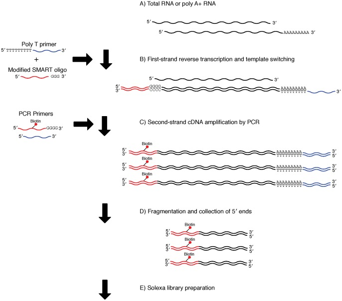 Library preparation using the SMART method. A) The protocol used either poly A+ (0.025–0.5 µg) or total (0.05–1.0 µg) RNA. B) First-strand cDNA synthesis, together with template switching and continuous replication to the end of the oligonucleotide. C) Second-strand cDNA amplification by PCR with biotinylated 5′ end primers. D) Fragmentation of cDNA using a Bioruptor and collection of biotinylated 5′ ends using beads. E) Illumina sequencing library preparation.