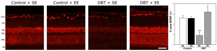 Expression of BDNF in retinas after 6 weeks of diabetes onset in SE- or EE-housed animals. In animals housed in SE a decrease in BDNF immunostaining in both inner and outer retina was observed, whereas in retinas from diabetic animals housed in EE, BDNF expression was similar to control animals kept in SE or EE. Shown are photographs representative of four eyes per group. Right panel: Assessment of the BDNF(+) immunoreactivity area. In SE-housed animals, experimental diabetes induced a decrease in BDNF(+) area which was prevented in diabetic animals housed in EE. Data are the mean ± SEM (n = 5 eyes per group); **p
