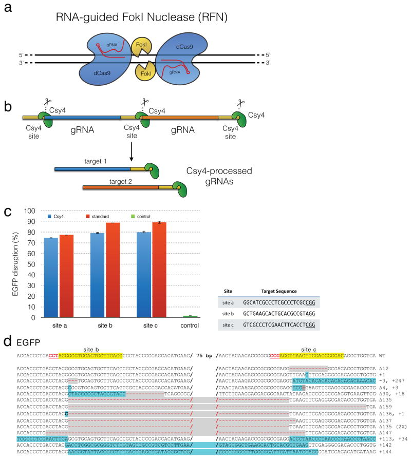RNA-guided FokI nucleases and a <t>Csy4-based</t> multiplex <t>gRNA</t> expression system (a) Schematic overview of RNA-guided FokI nucleases. Two FokI-dCas9 fusion proteins are recruited to adjacent target sites by two different gRNAs in order to facilitate FokI dimerization and DNA cleavage. (b) Schematic overview of a Csy4-based multiplex gRNA expression system. Two gRNAs (with any 5′ end nucleotide) are co-expressed in a single transcript from a U6 promoter with each gRNA flanked by Csy4 recognition sites. Csy4 cleaves and releases gRNAs from the transcript. The Csy4 recognition site remains at the 3′ end of the gRNA with a Csy4 nuclease bound to that site. (c) Comparison of the activities of Cas9 co-expressed with either Csy4-processed single gRNAs (blue bars) or single gRNAs expressed from a standard U6 promoter (red bars) in the U2OS.EGFP disruption assay. The target sequences in EGFP gene for the three different single gRNAs tested are provided in the table to the right of the graph. Error bars represent s.e.m, n= 3. (d) Validation of the multiplex, Csy4-based system. Two gRNAs targeted to adjacent sites in EGFP were expressed in a single RNA transcript using the Csy4-based system in human U2OS.EGFP cells together with Csy4 and wild-type Cas9 nuclease. Sequences of indel mutations induced in these cells are shown. The wild-type sequence is shown at the top with both target sites highlighted in yellow and PAM sequences shown as red, underlined text. Deletions are indicated by red dashes against gray background and insertions by lowercase letters against a light blue background. To the right of each sequence, the sizes of insertions (+) or deletions (Δ) are specified.