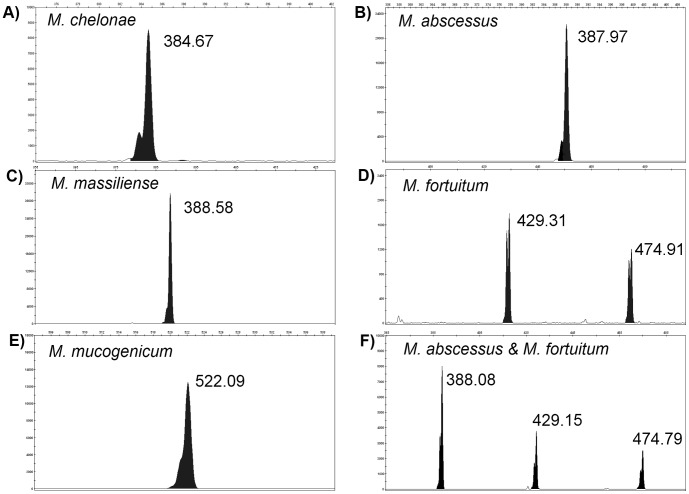 Representative CGE electropherograms following PCR amplification of the 16S–23S rRNA internal transcribed spacer (ITS) for A) M. chelonae ; B) M. abscessus ; C) M. massiliense ; D) M. fortuitum ; and E) M. mucogenicum . Peaks correlate with the ITS fragment length(s) which is shown above each peak. Panel A and D highlight the phenomenon of spurious double peaks which were less than 1 bp apart. Panel F shows the ITS-CGE electropherogram following the pre-extraction mix of M. abscessus and M. fortuitum demonstrating the typical peaks for each isolate.