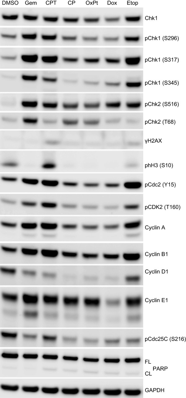 Checkpoint activation and DNA damage protein biomarker responses in HT29 cells following treatment with cytotoxic chemotherapeutic agents. HT29 cells were treated with approximately 5-times the single agent GI 50 of gemcitabine (Gem, 0.2 μM), camptothecin (CPT, 1 μM), cisplatin (CP, 125 μM), oxaliplatin (OxPt, 250 μM), doxorubicin (Dox, 3 μM) or etoposide (Etop, 50 μM) for 24 hours. Changes in protein expression levels were determined by immunoblotting.