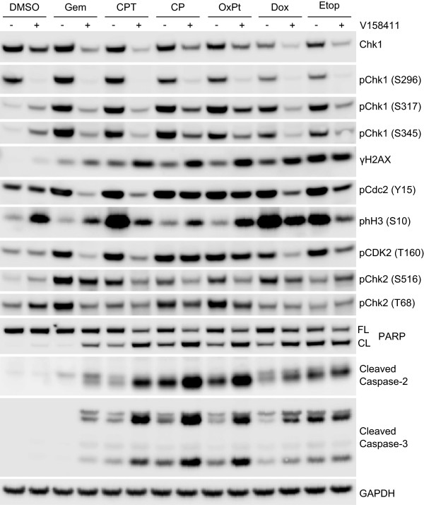 Cellular biomarker responses in HT29 cells exposed to various cytotoxic chemotherapeutic agents in combination with the Chk1 inhibitor V158411. HT29 cells were exposed to the combination GI 80 of gemcitabine (0.2 μM), camptothecin (0.44 μM), cisplatin (68 μM), oxaliplatin (131 μM), doxorubicin (1.2 μM) or etoposide (59 μM) for 18 hours followed by DMSO (−) or 400 nM V158411 (+) for a further 24 hours. Protein expression was characterized by immunoblotting.
