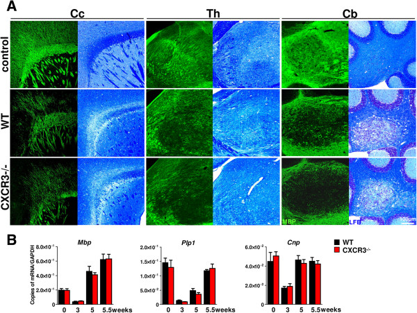 Cuprizone intoxication induces a robust demyelination of different brain regions in wild type (WT) and CXCR3-/-mice. A . Sagittal brain sections of WT and CXCR3-/- were analyzed for the degree of (de-)myelination at regions of the corpus callosum (Cc), thalamus (Th) and cerebellum (Cb) using immunofluorescence detection for myelin basic protein (MBP) and Luxol fast blue staining (LFB, bright field). Cuprizone-fed mice showed decreased MBP + fluorescence signal in the frontal corpus callosum (Cc), thalamus (Th) and the nucleus of the cerebellum (Cb) in WT and CXCR3-/- mice after 5 weeks. No significant differences in the degree of demyelination were visible between WT and CXCR3-/- mice after LFB stainings. Pictures are representative of 4 to 5 mice per group at each location and condition. B . Quantification for Mbp, Plp1 and Cnp transcripts using TaqMan assays document equal level in WT and CXCR3-/- mice at all dissected time points of the experiment. The most rapid drop of myelinogenic gene expression has been documented at the acute stage of demyelination after 3 weeks of cuprizone diet. Upregulation of the level of myelinogenic transcripts were found after withdrawal of cuprizone for 4 days (5.5 weeks). Data represent mean ± SEM, n = 4 to 5 for each genotype and time point.