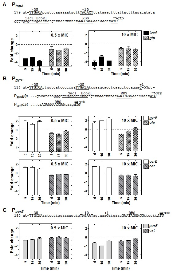 Relaxation-dependent transcription of P topA and P gyrB is different in their chromosomal location and in a replicating plasmid and similar for P parE . (A) A culture of R6 carrying a plasmid with a P topA gfp fusion was grown until OD 620nm = 0.4 and treated with novobiocin at 0.5× MIC and 10× MIC. Samples were processed as described in Figure 3 . Results obtained from qRT-PCR analysis at the two novobiocin concentrations indicated are shown. (B) Results obtained with two cultures of R6 one carrying a plasmid with a P gyrB gfp fusion and the other a plasmid with a P gyrB cat grown and treated as in A. (C) Results obtained with a culture of R6 carrying a plasmid with a P parE cat fusion grown and treated as in A. The expression from the promoters in their chromosomal locations ( topA , gyrB, parE ) was also determined in the same cultures. Relative values (log2 mean of three independent replicates ± SEM) are represented. To normalize the three independent replicate samples, values were divided by those obtained from internal fragments of the 16S rDNA. These normalized values were made relative to those obtained at time 0 min. The nucleotide sequences of the promoter regions present in the plasmids carrying the fusions are indicated in each case. The −35 and −10 boxes, the +1 mRNA, the ribosome-binding site (RBS), and the ATG initiation codon are indicated in upper case and underlined. Letters in cursive are those present in the pAST vector used for cloning.