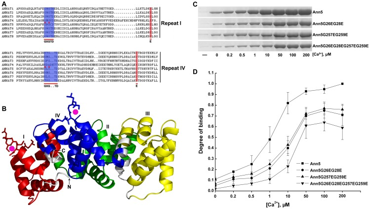 Ann5 binds to negatively charged phospholipids and this association is stimulated by Ca 2+ . (A) Multiple sequence alignment of the deduced amino acid sequences of repeats I and IV from Arabidopsis thaliana AnnAt1 to 8. Ca 2+ -binding sites of type II GXGTD-(37 residues)-E/D are indicated by blue and red shadows. The residues with red asterisks indicate the locations of PCR-based site-directed mutagenesis. The mutants of repeats I and IV were named Ann5G26EG28E and Ann5G257EG259E, respectively, and the conserved glycine residues were replaced by glutamic acid residues. (B) Predicted three-dimensional structure of the Ann5 protein. The annexin core domain was composed of four homologous repeats that are colored in red (repeat I), green (repeat II), yellow (repeat III) and blue (repeat IV) and shaped as a slightly curved disc. The convex surface on which calcium ions bind (magenta spheres) participates in peripheral membrane binding. The type II Ca 2+ -binding sites are labeled with sticks, and the ribbon illustrates the highly α-helical structure. (C) Phospholipid-binding properties of the recombinant His6-Ann5, His6-Ann5G26EG28E, His6-Ann5G257EG259E and His6-Ann5G26EG28EG257EG259E proteins. The individual protein (50 µg) was incubated with liposomes (1∶1 PC/PS) in the presence of increasing Ca 2+ concentrations. (-) denotes that the reaction mixtures contained neither liposomes nor Ca 2+ . (D) Comparison of the Ca 2+ -dependent phospholipid binding abilities of Ann5 and its mutants using densitometry analysis of the signal intensities of blots as described in (C). The phospholipid binding amount of Ann5 in 200 µM Ca 2+ is normalized as 1 (control). The relative intensities are displayed as fold-binding over the control. Values represent mean ± SD (n = 6).