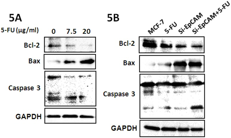 Effect of si-EpCAM and/or 5-FU treatment on apoptosis-related factors in MCF-7 cells. (A) MCF-7 cells were treated with 7.5 µg/ml and 20 µg/ml 5-FU for 48 h. Cells were harvested and analyzed by western blotting with antibodies against Bcl-2, Bax and caspase3. (B) MCF-7 cells were treated with si-EpCAM and/or 5-FU (7.5 µg/ml) for 48 h, and the expression of Bcl-2, Bax and caspase 3 was determined by immunoblotting.