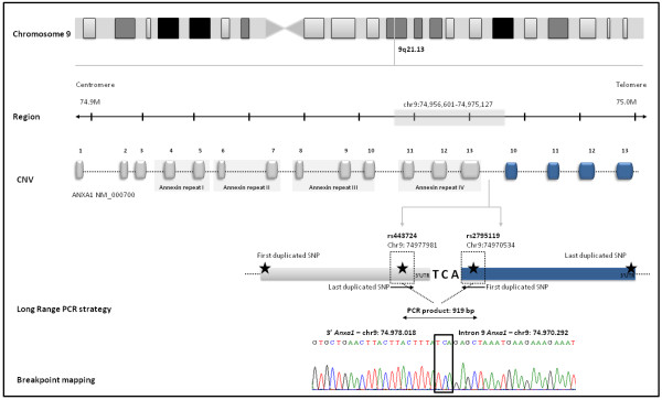 Genomic characterization of ANXA1 duplication: gene location and structure. We performed a Long Range PCR to determine whether the duplication was in tandem , using primers pointing outwards from the location of the first and last duplicated SNP. The four duplicated exons are represented in blue. A sequence of microhomology of three nucleotides (TCA) was also identified and is probably mediating the duplication.
