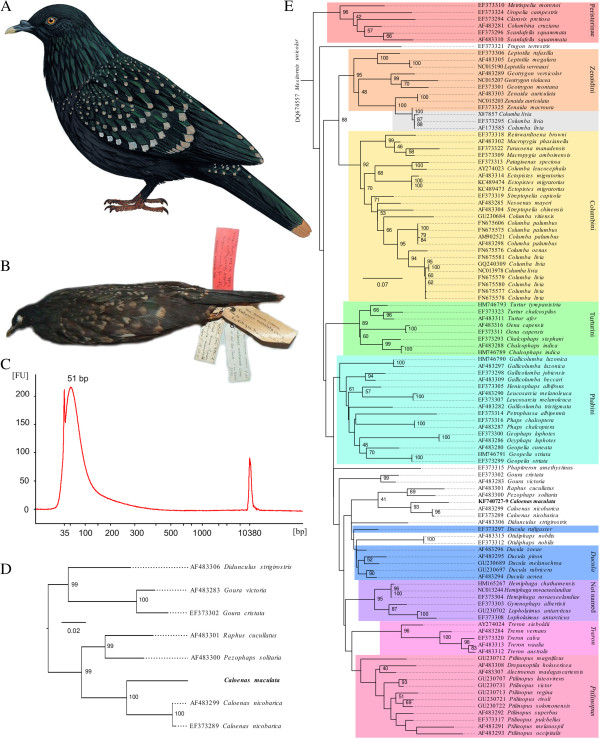 The Spotted Green Pigeon, extracted DNA characteristics and phylogeny. (A) Reconstruction of the Spotted Green or Liverpool Pigeon (courtesy of del Hoyo, J., Elliott, A., Sargatal, J. eds. 2002. Handbook of the Birds of the World. Vol. 7. Jacamars to Woodpeckers. Lynx Edicions, Barcelona), (B) a picture of the sole surviving specimen (courtesy of Clemency Fisher and the World Museum, National Museums Liverpool), (C) Bioanalyzer plot for the first DNA extract highlighting the short fragmentary nature of the DNA (median 51 bp). 35 bp and 10380 bp peaks are markers. FU: fluorescent units., (D) Maximum likelihood tree for the concatenated Spotted Green Pigeon sequences and 12S sequences from members of the extended Dodo clade (as identified by Shapiro et al. [ 1 ]) and (E) Maximum likelihood tree for 106 Pigeon mitochondrial 12S sequences. The Spotted Green Pigeon (bold) clusters first with the Nicobar Pigeon and second with the Dodo and Rodrigues Solitaire. Previously identified Pigeon clades in the phylogeny are coloured. The reason for the clustering of three rock Pigeon sequences ( Columba livia , grey box) with mourning doves ( Zenaida macroura ) is unclear, although hybridisation has been observed for these two species [ 5 ]. Bootstrap support values above 40 are indicated in the larger tree to allow for observation of the bootstrap value for the split between Caloenas and Raphinae, the dotted lines in both trees are there to associate the taxa with the appropriate tree tips.