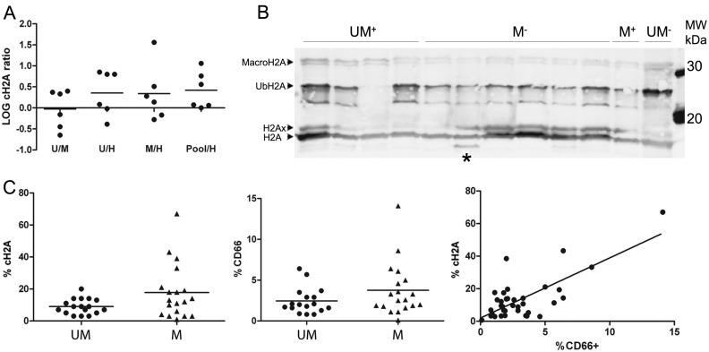 Quantitative mass spectrometry and Western blot analysis on CLL samples revealed that histone H2A clipping is from myeloid origin. ( A ) The iTRAQ ratios of the cH2A peptide (normalized to the average of the H2A protein to compensate for morphological differences) hint towards an increased abundance in CLL compared to healthy B-cells. The individual log ratios of all six runs are presented as dots, the average ratios as the horizontal bars. Histone H2A (cH2A) is up-regulated in the samples of the leukemia pool compared to the samples of the healthy B-cells in all six runs; ( B ) The histoneextracts from 12 of the 36 samples (From left to right: patient samples UM + 8, 9, 10 and 11; M − 9, 10, 11, 12, 13 and 14; M + 5 and UM − 6). Western blot with an H2A antibody against the epitope depicted in Figure 1 detects the H2A variants H2Ax, Ubiquitinated H2A and macroH2A. The band under ubiquitinated H2A could not be identified. cH2A was only faintly detected, except for one sample ( * ); ( C ) Specific cH2A screening with AQUA peptides and flow cytometry data revealed the myeloid characteristic of the clipping. Left panel : %cH2A differs significantly ( p = 0.049) between CLL patients with a distinct mutational status (UM: 11× UM + 6× UM − , M: 14× M − 5× M + ); Middle panel : Although not significant ( p = 0.15), the %CD66b suggested a similar correlation with the mutational status; Right panel : Relation between %cH2a and %CD66b. Spearman's Rho correlation between CD66b + and %cH2A was significant at the 0.01 level (Spearman's Rho correlation coefficient: 0.439; p = 0.007; Data: Table S2b ).