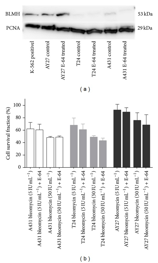 Bleomycin hydrolase is strongly expressed in AY-27 cells but the protease inhibitor E-64 does not sensitize AY-27 to bleomycin. (a) Western blots of BLMH expression in <t>K562</t> (positive control), A431, T24, and AY-27 cells. E-64 treated cells are included as control. PCNA expression level is used as loading control. The image is from one representative experiment out of three. (b) Bleomycin cytotoxicity at two concentrations (5 and 50 IU mL −1 ) with and without E-64 treatment (concentrations used are listed in Table 1 ). Cell survival fractions were determined 48 h after 4 h-treatment with the drug(s). The data are from one representative experiment out of three (mean of 24 wells ± SD).