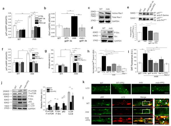 Inhibition of Nox2-activity reduces oxidative stress and Src kinase-mediated impaired autophagy ( a ) Nox2-specific ROS production was assessed using the Nox2 redox biosensor p47-roGFP redox biosensor Cat: catalase, PEG-Cat: pegylated catalse. ( b ) Measurement of intracellular glutathione redox potential with Grx1-roGFP2. ( c ) Analysis of <t>Rac1</t> and ( d ) Src. ( e ) Immunoblot of precipitated p47 phox probed with an anti-phosphoserine or anti-p47 phox antibody. ( f ) Nox2-specific intracellular ROS production was measured using p47-roGFP redox biosensor. ( g ) Extracellular ROS production was assessed using Amplex-red dye. ( h ) Plasma membrane calcium influx was measured by analyzing the Fura-2 fluorescence quench rate upon addition of extracellular Mn 2+ . ( i ) Intracellular RNS generation was measured using DAF-FM. Bars represent average ±SEM from n=15 individual fibers for each condition in ( a , b , f , g , j and i ). Markers of autophagy were analyzed in isolated fibers (incubated with or without PP2) from FDBs. ( k ) Autophagosome formation was analyzed using fluorescence microscopy (scale bar=100 μm) and illustrated LC3 localization and autophagosome formation. ( l ) Confocal microscopy detected p62-LC3 localization in single fibers from FDBs (scale bar=140 μm and 50 μm for white box areas). All immunoblots were performed with isolated proteins from FDBs and probed with antibodies as indicated. <t>GAPDH</t> was detected as a loading control. Representative images are shown. Bars represent average ±SEM from n=3 independent biological experiments. Statistical differences between groups were determined using ANOVA with Tukey's post-hoc test. *p