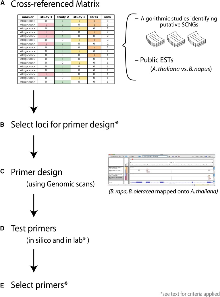 Approach used to identify SCNGs in this study. (A) Genes that were identified as putative SCNGs across different algorithmic studies were cross-referenced with public ESTs. (B) Loci for primer design were selected according to criteria outlined in the text. (C) Primer design was based on alignments of reads from shallow-depth <t>Illumina</t> sequencing of genomic <t>DNA</t> of Brassica rapa and B. oleracea (2× and 9× coverage, respectively) mapped onto the Arabidopsis thaliana genome. (D) Primers were tested in silico and in the laboratory before final selection for sequencing of products (E).