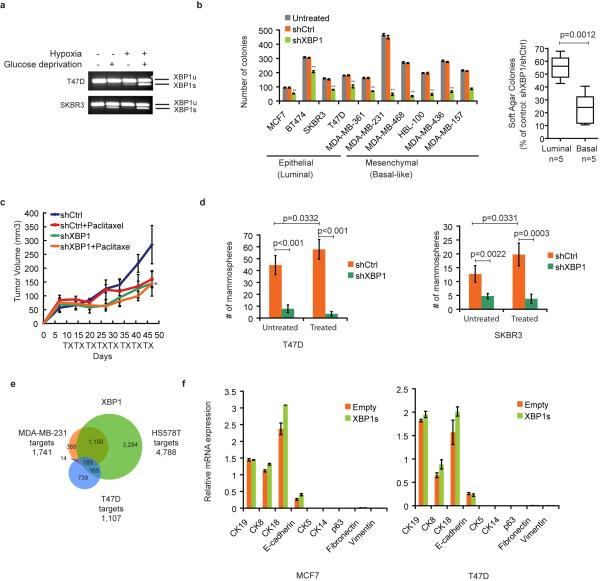 Role of XBP1 in luminal breast cancer a , XBP1 splicing is induced by hypoxia and glucose deprivation in luminal cancer cells. RT-PCR of XBP1 splicing in T47D and SKBR3 cells under different treatments for 24h. XBP1u: unspliced XBP1, XBP1s: spliced XBP1. Hypoxia: 0.1% O 2 . b . Left panel: Quantification of soft agar colony formation in untreated and control shRNA or XBP1 shRNA infected breast cancer cells. Experiments were performed in triplicate and data are shown as mean ± SD. **p
